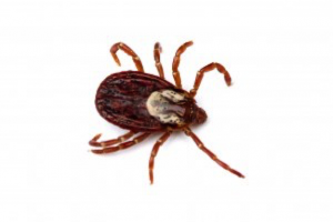 Alabama Tick